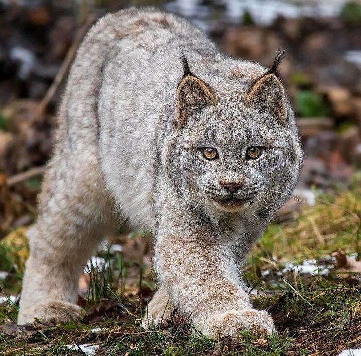 канадская рысь, редкие дикие кошки