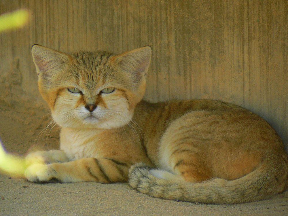 барханный кот, редкие дикие кошки