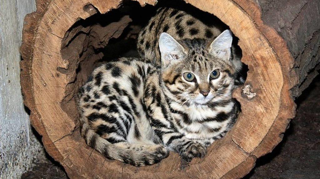 Черноногая кошка, редкие дикие кошки