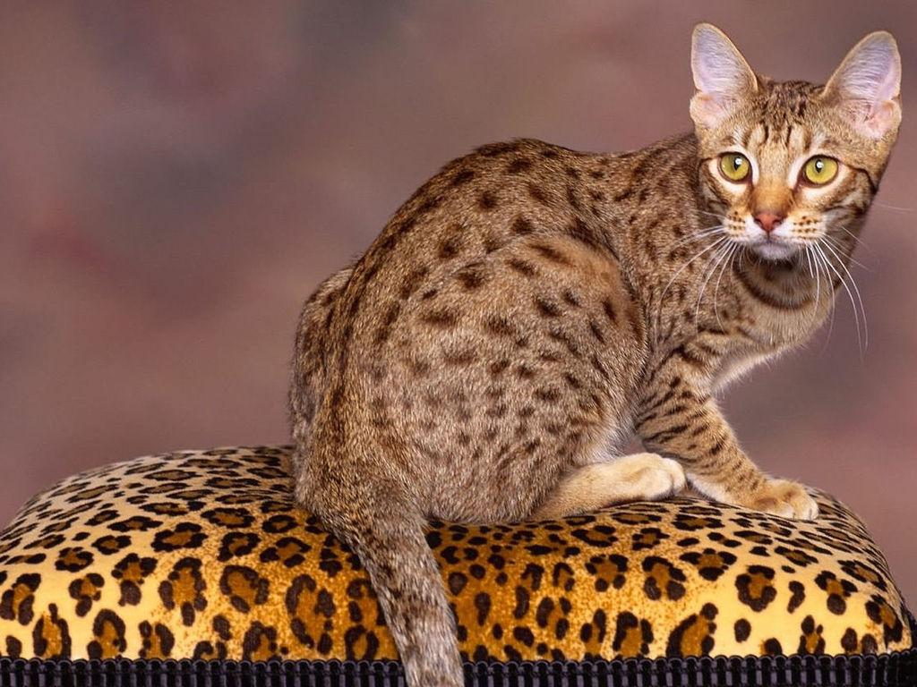 Блестящая калифорнийская кошка, редкие короткошерстные кошки