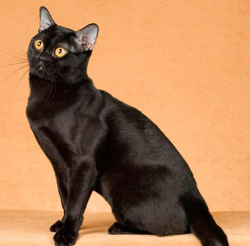 Бомбей, бомбейская кошка