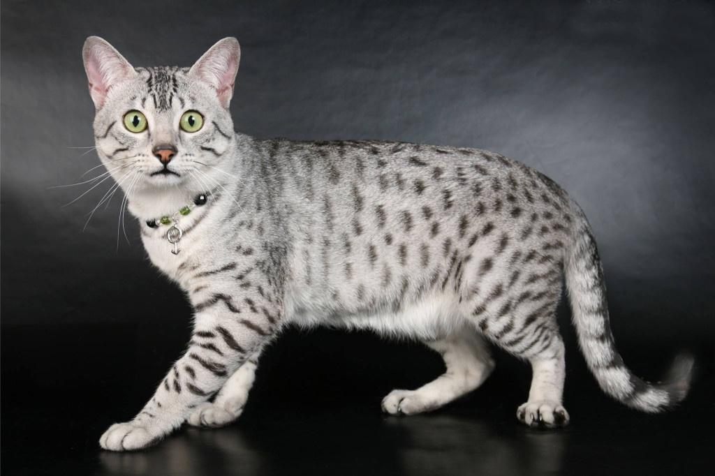 египетская мау, редкие короткошерстные кошки