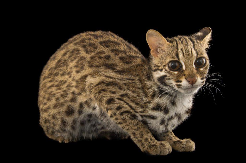 леопардовая кошка, бенгальская кошка