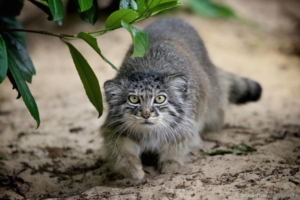 Манул, редкие дикие кошки