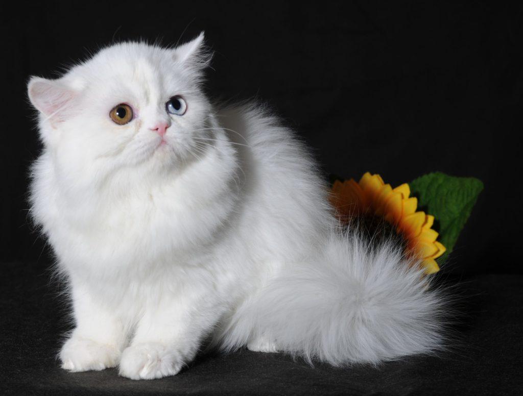 Наполеон кошка, редкие длинношерстные кошки