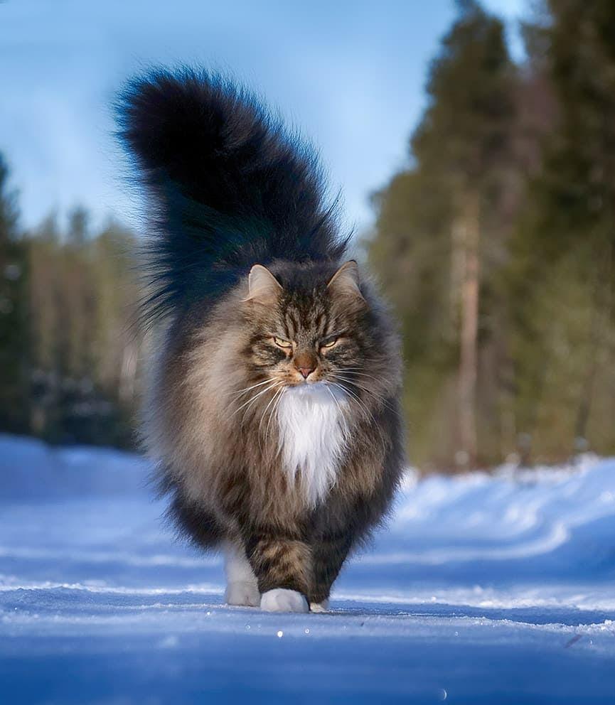 Норвежский лесной кот, редкие длинношерстные кошки