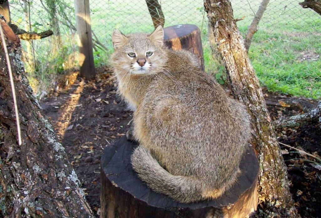 пампасская кошка, травяная кошка