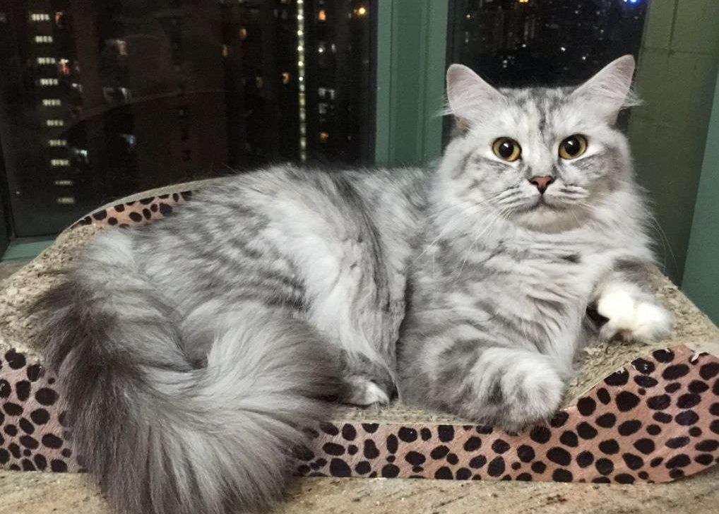 Рагамаффин, редкие длинношерстные кошки