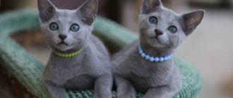 русская голубая, редкие короткошерстные кошки