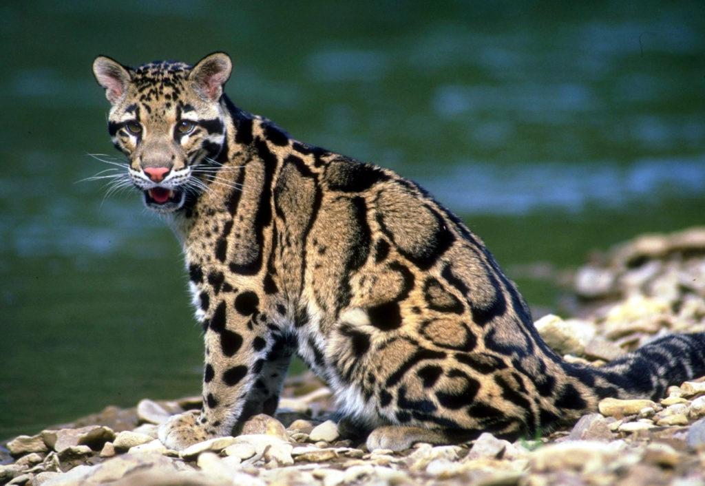 дымчатый леопард, редкие дикие кошки