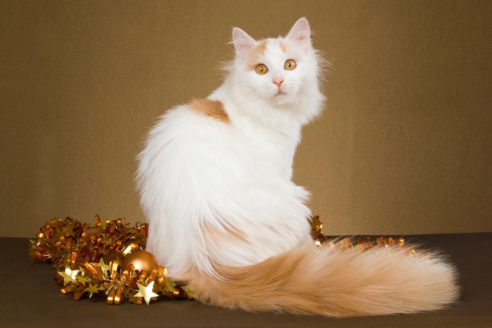 Турецкий ван, редкие длинношерстные кошки