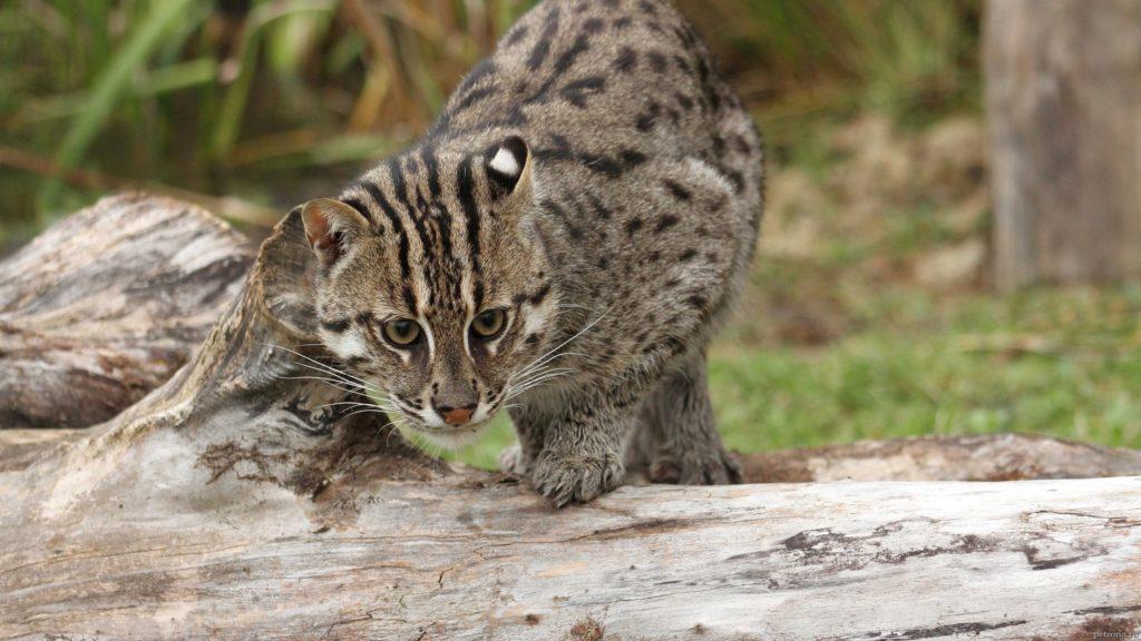 Виверовая кошка, кот-рыболов